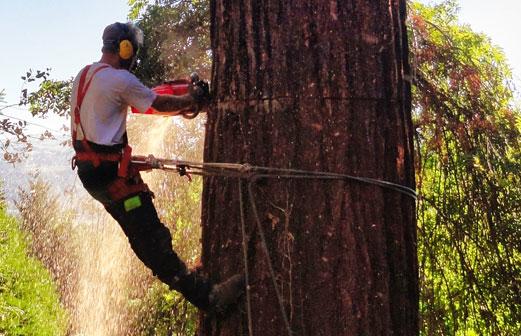 Abattage d'un sequoia